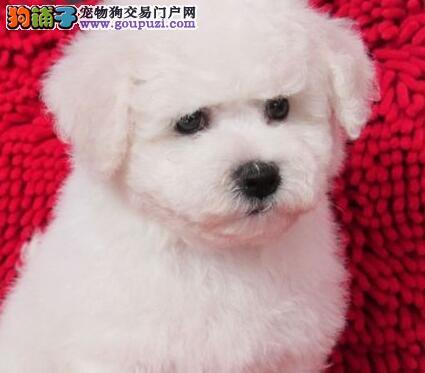 实物拍摄的郑州比熊找新主人欢迎爱狗人士上门选购