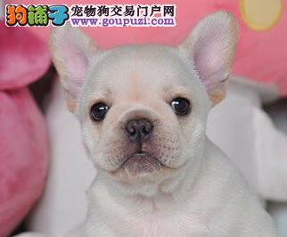 南阳实体店低价促销赛级法国斗牛犬幼犬签正规合同请放心购买