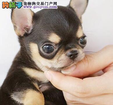 吉娃娃宝宝热销中 金牌店铺放心选 三年联保协议