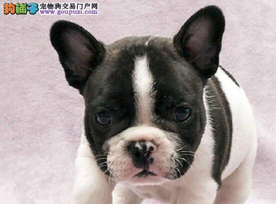 纯种法国斗牛犬宝宝找主人喜欢加微信可签署协议