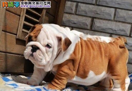 英国美国法国血系的斗牛犬现低价出售 仅限广州朋友选