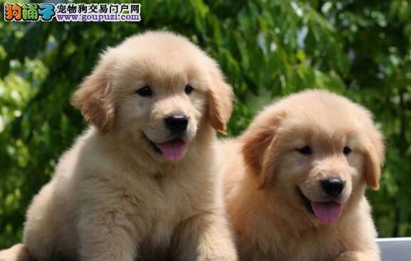 毛色纯正可爱活泼的金毛犬找新主人 西城市内可送货