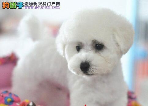 甜美可爱乖巧的深圳比熊犬找爸爸妈妈 保障品质售后