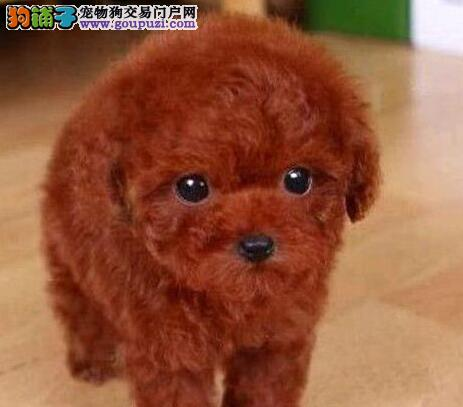 苏州犬舍出售精品泰迪犬证书齐全驱虫疫苗已做