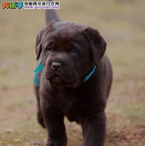 吉林狗场直销出售大头宽嘴的拉布拉多犬 保健康纯种
