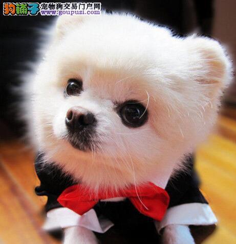 血系纯正品相完美的博美犬待售中 东莞市内免费送货