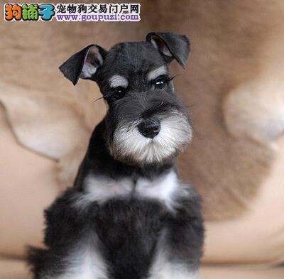 转让极品小雪东莞自家繁殖的雪纳瑞幼犬 签协议