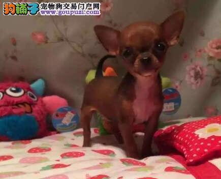 东莞繁殖中心直销出售超小体的吉娃娃幼犬 欲购从速