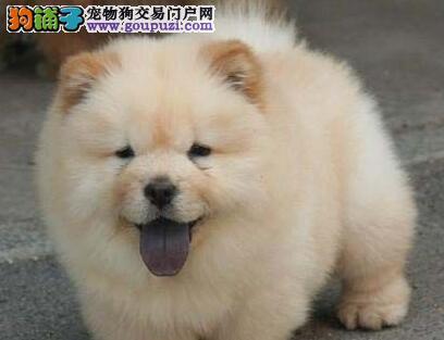 奶油色的杭州松狮犬找新主人 求好心人士来收留幼犬