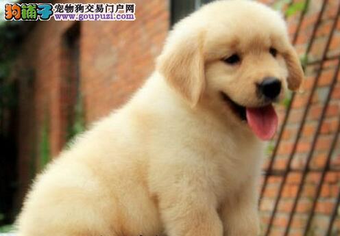 广州大头版大骨量英系美系金毛巡回犬 当场验健康质保
