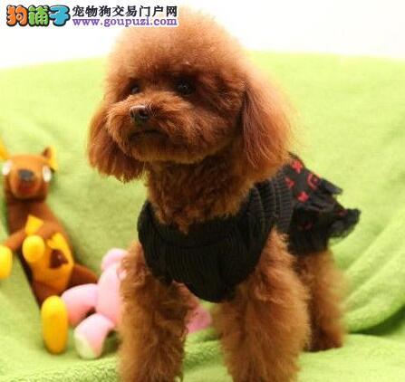 西安出售贵宾犬公母都有品质一流提供护养指导