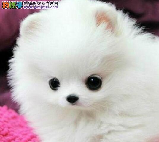 出售博美犬颜色齐全公母都有价格美丽品质优良