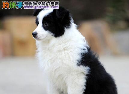 纯种边境牧羊犬幼犬,低价热销保健康,专业信誉服务
