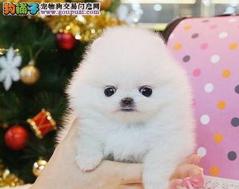 精品纯种西安博美犬出售质量三包冠军级血统品质保障
