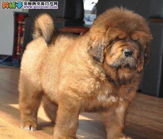 大狮头大骨架的武汉藏獒幼崽找新家 绝对健康包质保