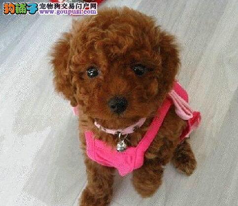 公母均有品相极佳的巨型贵宾犬热销中 唐山地区可送货