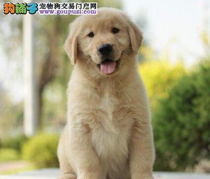 黄金被毛品相极佳的南宁金毛犬出售 请放心选购