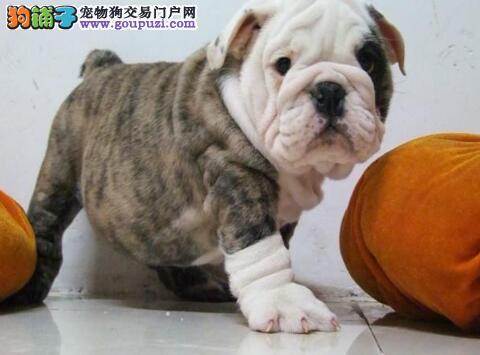 深圳狗场长期专业繁殖纯种斗牛犬 可当面先检测再购买