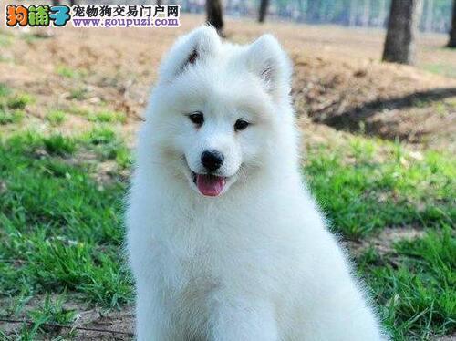家养一窝纯种萨摩耶幼犬转让 武汉的朋友上门选购犬