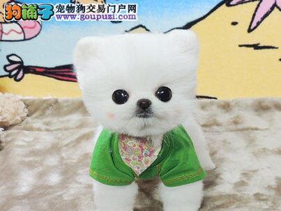 出售实物拍摄的珠海博美犬 大家可以放心选购