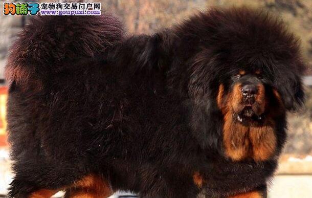 纯种大狮子头的长沙藏獒幼崽找新家 可视频看种犬