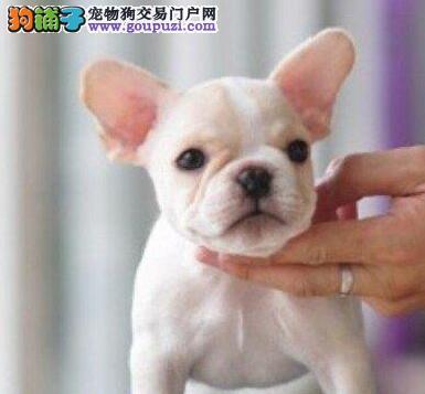 家养多只杭州法国斗牛犬宝宝出售中可签订活体销售协议