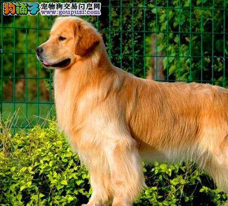 赛级品质超大头版的长沙金毛犬找新家 签订合法协议