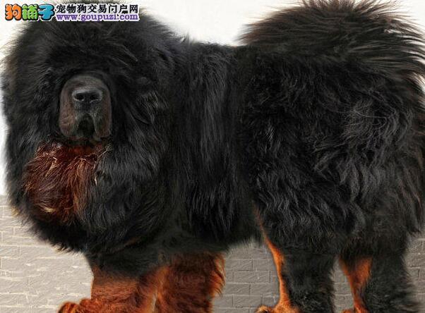 高品质原生态藏獒狗场直销 武汉周边城市可送到家