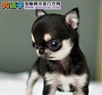 短毛褐色吉娃娃,重庆地区大量优惠
