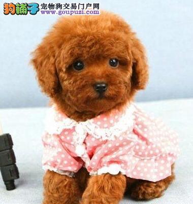 顶级优秀的纯种泰迪犬热销中签订协议包细小犬瘟热