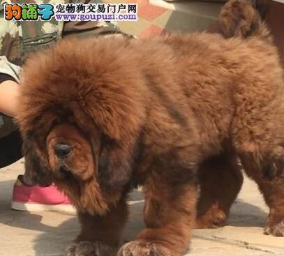 深圳哪里有卖藏獒深圳哪里买藏獒最好深圳藏獒多少钱