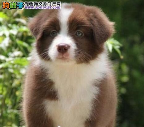重庆哪里有卖边牧 重庆最聪明边境牧羊犬多少钱能买到
