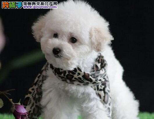 多种颜色的赛级泰迪犬幼犬寻找主人国际血统认证