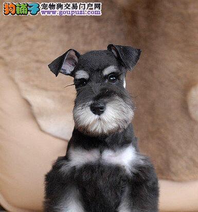 兰州犬舍出售白胡子老头雪纳瑞幼犬 灰色黑色可选