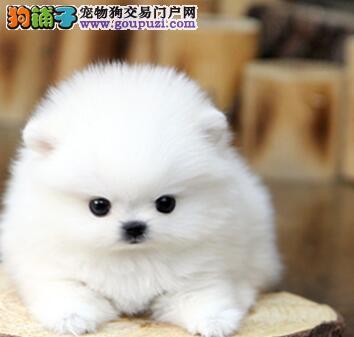 白色黄色均有的深圳博美犬找新主人 上门可见狗父母