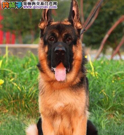 出售身体健康纯正血统的太原德国牧羊犬 狗贩子绕行