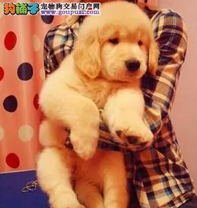 大型狗场热销大骨架精品金毛犬 来深圳购买可享受优惠