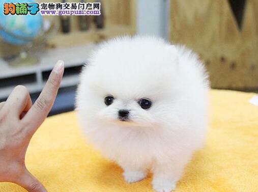 CKU认证犬舍出售高品质博美犬狗贩子请勿扰