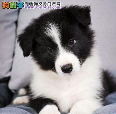 出售纯种七白到位上海边境牧羊犬 可办理血统证书