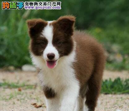 白金汉宫血系、七白到位的纯种边境幼犬、火热出售中