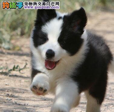 狗场促销顶级血统边境牧羊犬广州地区上门选购有优惠