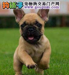 西安知名犬舍出售多只赛级法国斗牛犬均有三证保障