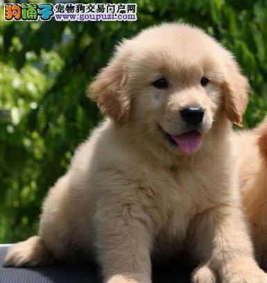 西宁大型的养殖基地出售金毛犬 身体健康骨骼健硕