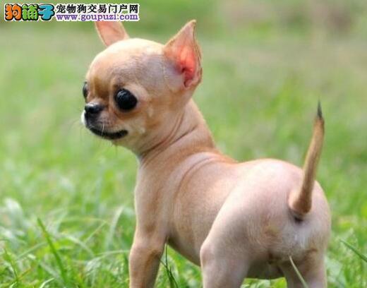 超小体大眼睛完美品相的郑州吉娃娃热销中 签订协议