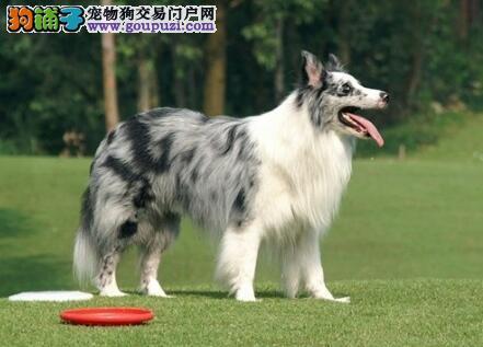 品质极佳身体健康的郑州边境牧羊犬找新家 非诚勿扰