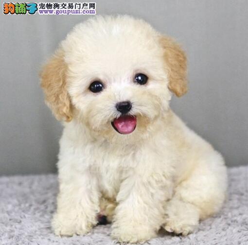 安庆家养纯种小体泰迪幼犬 健康活泼无体臭不掉毛