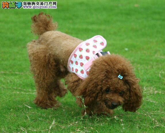 多种颜色多种血系的郑州贵宾犬求好心人收留 速来选购