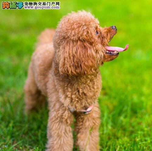 深圳玩具泰迪熊价格 深圳哪里有卖泰迪熊