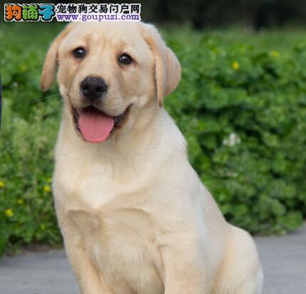转让超高品质的吉林拉布拉多犬 希望大家上门选购