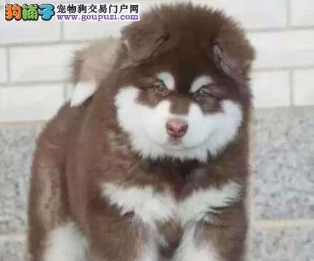 毕节实体店热卖阿拉斯加犬颜色齐全我们承诺售后三包